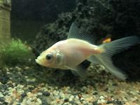 Отдается в дар Золотые рыбки