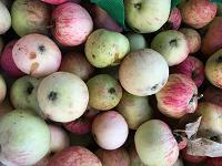 Отдается в дар Яблоки падалица