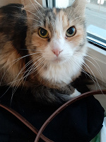 Отдается в дар Кошка Лиса