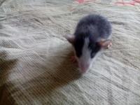 Отдается в дар Крысенок