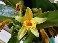 Отдается в дар Эфирное масло ванили в парфюмерной версии.