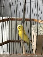 Отдается в дар Волнистый попугай