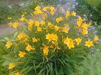 Отдается в дар растение для дачи-лилейник желтый