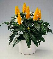 Отдается в дар Комнатное растение пахистахис