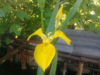 Отдается в дар растение для дачи-ирис желтый