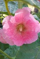 Отдается в дар Шток-роза или мальва.