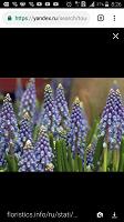 Отдается в дар Мускари — ранний весенний цветок