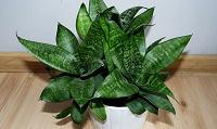 Отдается в дар Сансевиерия (парочка молодых растений с корнями)