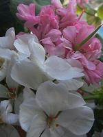 Отдается в дар Цветы комнатные отростки