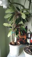 Отдается в дар Комнатное растение