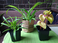 Отдается в дар Цветы для дома: Бегония и Хлорофитум