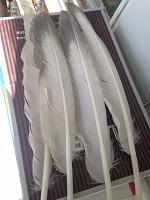 Отдается в дар Гусиные перья