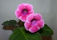 Отдается в дар Розовая тидея