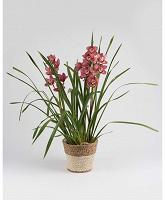 Отдается в дар Орхидея Цимбидиум