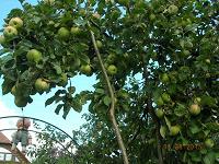 Отдается в дар Сушеные листья яблони