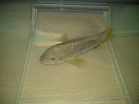 Отдается в дар Одна большая рыба