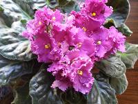 Отдается в дар Фиалки безымянные, но красивые (только листья)