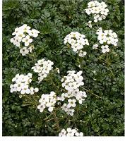Отдается в дар Садовый цветок