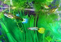 Отдается в дар Аквариумные рыбки Гуппи