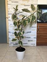 Отдается в дар Фикус трехцветный (Ficus tricolor)