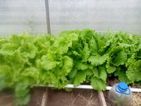 Отдается в дар Свежий салат