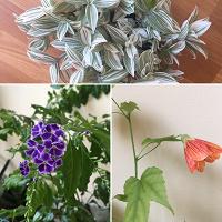 Отдается в дар Комнатные растения — дуранта, абутилон, юкка