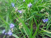 Отдается в дар растение для дачи-традесканция садовая