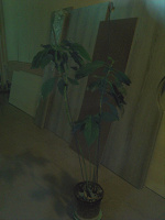 Отдается в дар Авокадо (растение)