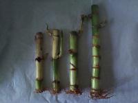 Отдается в дар Драцена бамбуковая, черенки с корешками