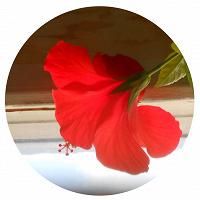 Отдается в дар Гибискус (китайская роза)