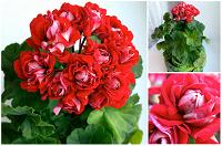Отдается в дар Черенки сортовой розоцветковой пеларгонии