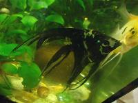 Отдается в дар Рыбка мраморная скалярия, пол неизвестен