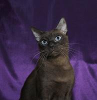 Отдается в дар кошка породы тонкинез