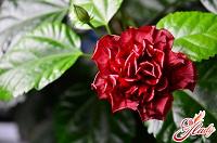 Отдается в дар Черенки роз