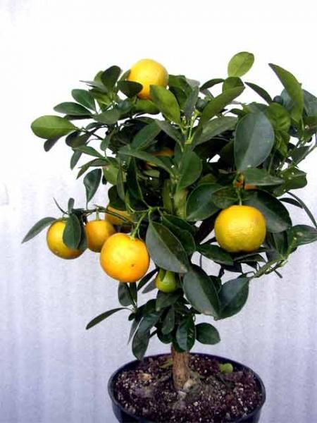 Семена комнатного мандарина
